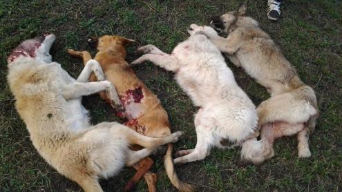 Problema maidanezilor din Lelești, ''rezolvată''. Au fost împușcați la marginea comunei