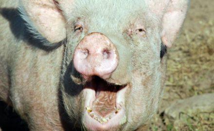 Dacă nu te duci la Parchet, ești tăinuitor, porcule